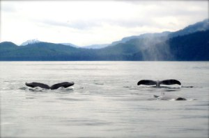 whales-in-alaska